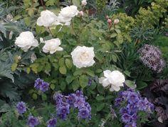 Buy roses - Mixed borders - David Austin Roses - EU