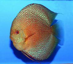 Show us your monster size Discus Fish Tropical Freshwater Fish, Freshwater Aquarium Fish, Tropical Fish, Discus Aquarium, Discus Fish, Acara Disco, Oscar Fish, Betta Fish Types, Paludarium