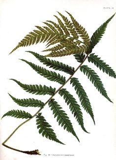 Vintage Printable is a great source for vintage Botanical-Indian-Ferns_08