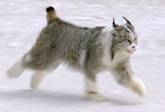 MUTANT BIG CATS - A piebald lynx was released in Colorado as part of a reintroduction scheme. The pattern corresponds closely to the bicolour pattern in domestic cats - white facial markings, white legs, white chest and belly and might be due to a similar gene mutation in the lynx rather than partial albinism. If so, the white spotting gene can be expected to manifest in the lynx's offspring.
