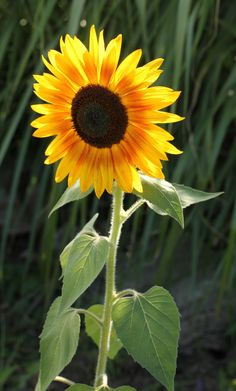 sunflower <3                                                                                                                                                                                 Más