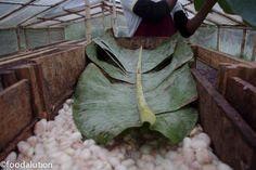 La fermentation est la phase cruciale de la transformation en cacao. Ces fèves fermentent dès qu'elles sont immédiatement empaquetées en vrac dans des feuilles de bananier durant 3 à 8 jours . Cette fermentation est la transformation chimique des sucres contenus dans la fève en alcool. L'augmentation de la température et de l'acidité va provoquer la stérilisation de la fève .