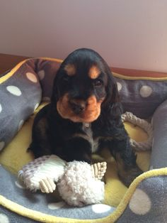 A list of the cutest black and tan cocker spaniel pictures. Are you in the mood to see some adorable photos of cocker spaniels? This is a list of some of the cutest black and tan cocker spaniel photos. Black Cocker Spaniel, American Cocker Spaniel, Cocker Spaniel Puppies, Cute Puppies, Dogs And Puppies, Cute Dogs, Doggies, Baby Animals, Cute Animals