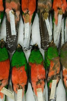Bird Specimens, Study Skins | Flickr - Photo Sharing!