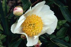 Paeonia lactiflora 'Whitleyi Major' RHS Award for Garden Merit, 100 x height and spread Plants, Garden, Peonies, Landscape Design, Plant List, Paeonia Lactiflora, Landscape, Rhs, Summer Garden