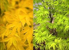 Acer palmatum 'Shidava Gold' (Japanese maple) has bright green bark in winter.
