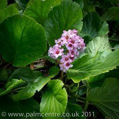 'Bergenia cordifolia' (Elephant Ears), available via The Palm Centre