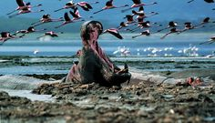 """LAKE NAKURU NATIONAL PARK"" *** Lake Nakuru, despite being fed by several rivers, it is not very deep but this aspect has done, is doing and will allow visitors, especially photographers, of capturing the spectacle of nature represented by the pink flamingos that color the surface."
