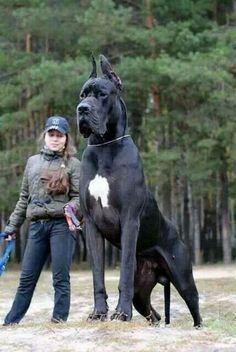 Gros chien! Mais je pense que ses pas vrai. Et vous en penser quoi?  Big dog! But i dont think dit is réal. Wath do you think?