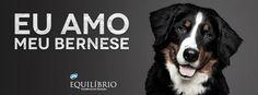Charmoso, elegante e com um sorriso sempre no rosto! O Bernese é um verdadeiro galã #Eu_Amo_todas_as_raças #Bernese #cachorro