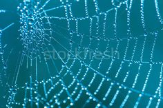 Cobweb with dew drops stock photo © Aleksey Sagitov ( Dew Drops, Blue Backgrounds, Cool Photos, Royalty Free Stock Photos, Blue Wallpapers