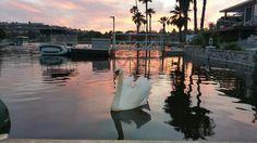 Swan at sunset on the lakeNextdoor Lake San Marcos: General