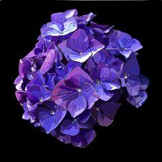 Purple Hydrangea on black photo block Photo Blocks, Photo Boards, Painting Flowers, Hydrangea, Amethyst, Texture, Website, Crystals, Purple