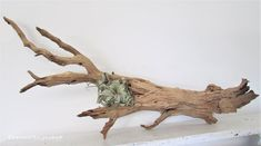 This Aged rustic ghost tree have a rustic texture that looks almost like a painting, doesn't it? His rustic wood texture was all created over 100's of years by the amazing power of nature. If you like the rustic natural look of aged wood, you will LOVE this one !