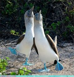The Blue Footed Booby Dance