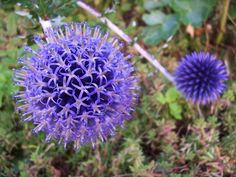 Echinops - How to grow, when to plant, where to plant this perennial. Finally a single source for the backyard gardener.