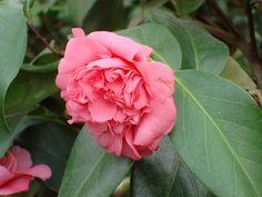 Camellia japonica 'Elizabeth Le Bey' (U.S., 1946)