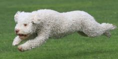 Comes cordis Olympia: Flying Curls Lagotto Romagnolo