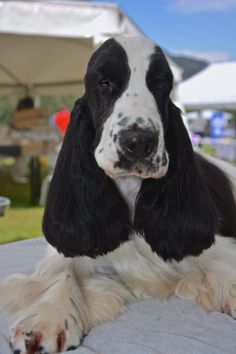 I Love Dogs, Cute Dogs, Cockerspaniel, English Springer Spaniel, Labradors, Spaniels, Puppys, Fur Babies, Portugal