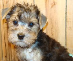 I love schnorkie's! Schnauzer Mix, Schnauzers, Cute Puppies, Dogs And Puppies, Pet Loss, Dog Houses, Fur Babies, Terrier, Kittens