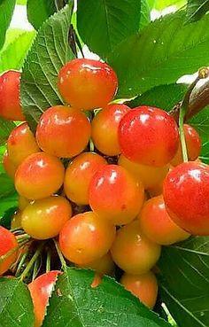 Fruit Flowers, Fruit Plants, Fruit Garden, Fruit Trees, Fruit And Veg, Fruits And Vegetables, Fresh Fruit, Cherry Fruit, Fruits Photos