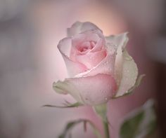 """A rose of love"" by Sirinat Tanamai, via 500px."
