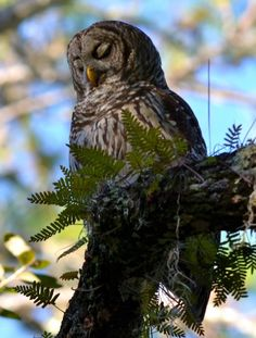 It's National Bird Day, so remember to give a hoot for our feathered friends! Female barred #owl @ Lake Woodruff NWR.