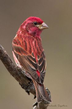 Purple Finch is the state Bird of NH but I literally had never seen one until they appeared at our feeder this spring. Informations About Purple Finch (male) Pin You can easily Pretty Birds, Love Birds, Beautiful Birds, Animals Beautiful, Exotic Birds, Colorful Birds, State Birds, Kinds Of Birds, Backyard Birds