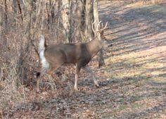 How To Hunt Deer with Attractants