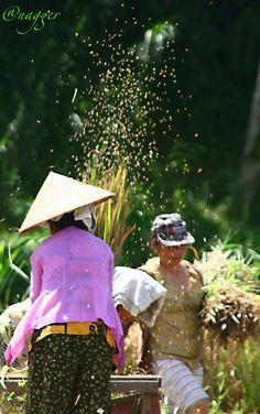 Rice Harvest at Bali