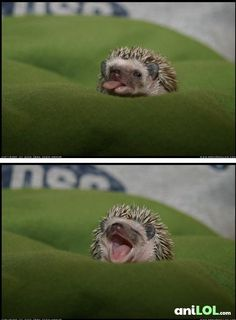 Adorable Baby Hedgehog - I want one Funny Animal Pictures, Cute Pictures, Animals And Pets, Funny Animals, Wild Animals, Funny Hedgehog, Hedgehog Baby, Cute Little Animals, Cute Creatures