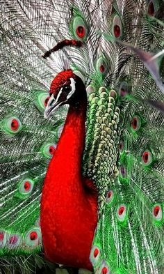 Would people stop editing peafowl.there are no red peacocks! Kinds Of Birds, All Birds, Love Birds, Pretty Birds, Beautiful Birds, Animals Beautiful, Exotic Birds, Colorful Birds, Exotic Pets