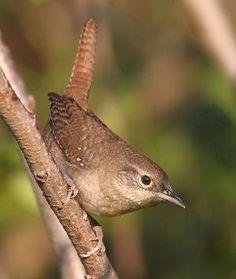 Carriça de casa - estes pássaros pequenos ocupados com os grandes grandes vozes amar o nosso quintal.  Nós sempre temos pelo menos dois ninhos de bebês a cada primavera.  por Eileen