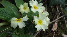 Primule.. spring flowers - Primule.. spring flowers in Castiglione countryside..