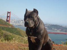 MN x pit English Bull Terriers, Staffordshire Terriers, American Staffordshire, Best Dog Breeds, Best Dogs, American Bandogge Mastiff, Black Pitbull, Cane Corso Dog, Pit Bull Love