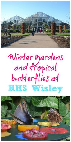 A visit to RHS Wisley in Surrey to see the butterfly event in the Glasshouse. The event continues over February half term and until 5 March 2017