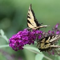 Two Swallowtails on a Buddleja 'Royal Red' Bloom