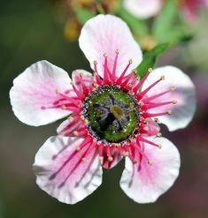 Bees feed on th manuka flower to produce Manuka honey.