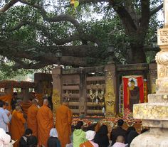The Bodhi tree under which the Buddha reached enlightenment still remains the most important place of pilgrimage today. As the Bodhi tree grows from cuttings, this species is charged with the Buddha's presence. #Buddhism