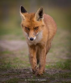The Fox (Wild Wonders of Holland) - Here is a portrait of a fox I shot last september in the dunes near the dutch coast. Please click on picture to see it with black background!