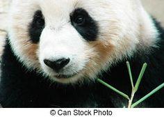 Panda stock photos and images