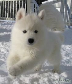 Man's best friend: The Samoyed Beautiful Wolves, Beautiful Dogs, Animals Beautiful, Baby Dogs, Pet Dogs, Dog Cat, Doggies, Cute Baby Animals, Animals And Pets