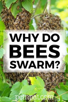 Why do bees swarm? If you've been lucky enough to see a swarm, you'll want to understand what's going on. Animal Nutrition, Pet Nutrition, Beekeeping For Beginners, Farm Layout, Bee Swarm, Farm Pictures, Pet Organization, Backyard Beekeeping, Dog Grooming Business