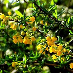 Berberis Evergreen Hedge (Berberis x stenophylla) Box Hedging, Hedging Plants, Shrubs, Little Flowers, Yellow Flowers, Fast Growing Evergreens, Evergreen Hedge, Golden Flower, Plants Online