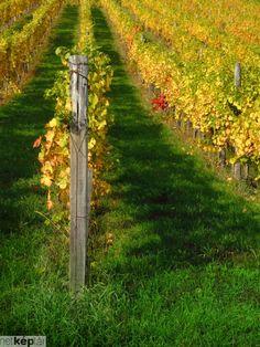 vineyard hhh like angle and colours hhhh How Beautiful, Beautiful World, Hungarian Food, Wine Vineyards, Good Ole, Wineries, Wine Country, Hungary, Countryside
