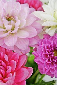 Pink Dahlias   VIBEKE DESIGN
