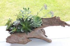 to create your own succulent floral design / arrangement in driftwood . Driftwood Planters, Driftwood Art, Succulent Arrangements, Succulent Ideas, Island Theme, Garden Landscaping, Landscaping Ideas, Beach Themes, Air Plants