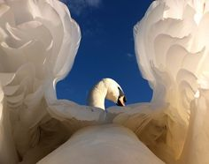 A swan, as you have never seen photographed before by Gerald Robinson, British Wildlife Photography Awards - Animal Portraits Category Photography Competitions, Photography Awards, Wildlife Photography, Animal Photography, Amazing Photography, Wild Life, Swans, Beautiful Birds, Animals Beautiful