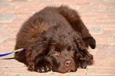 Newfoundland Puppy- yup, I think this'll be my next dog.