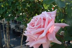 Frederic Mistral rose   rosa frederic mistral rose frederic mistral rosier frederic mistral ...